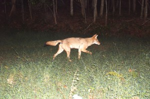 Coyote in Virginia
